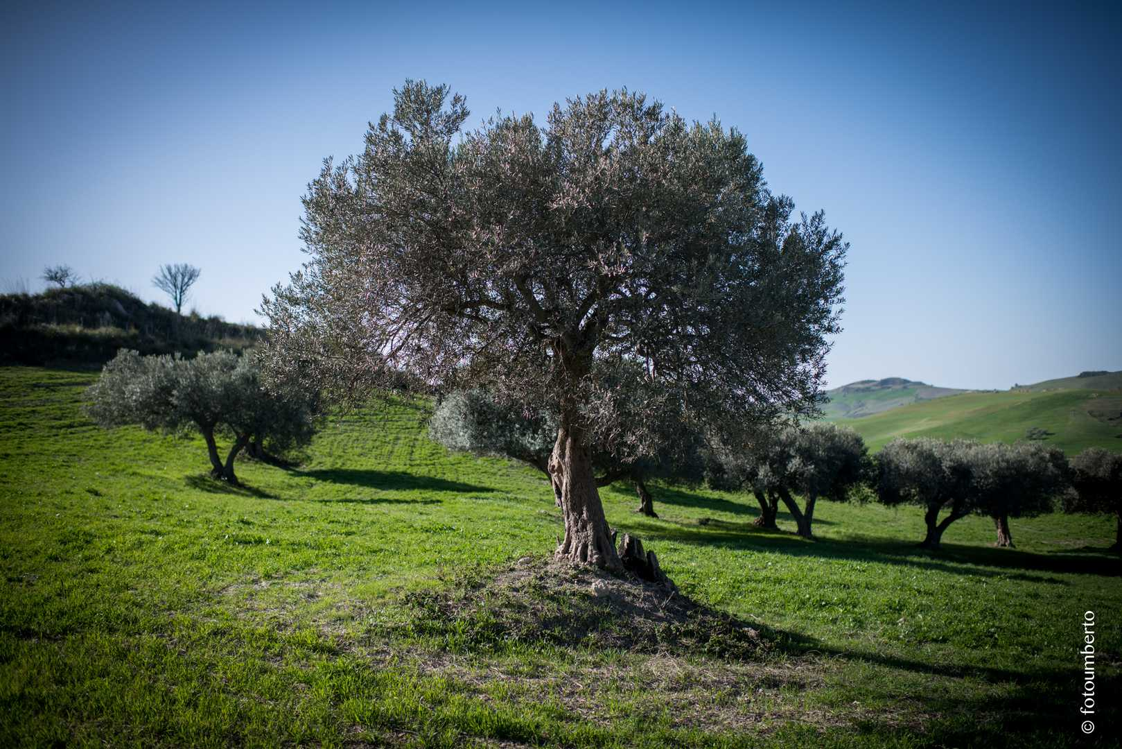 fotografie ulivi sicilia