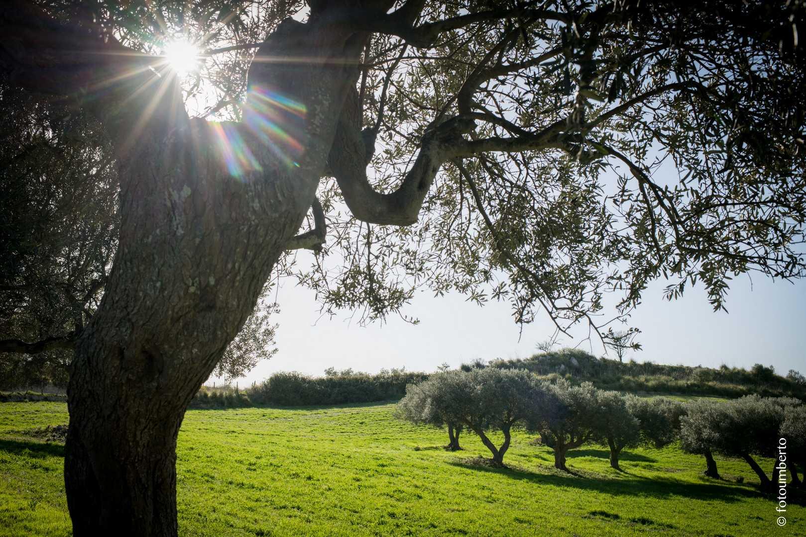 olivo siciliano