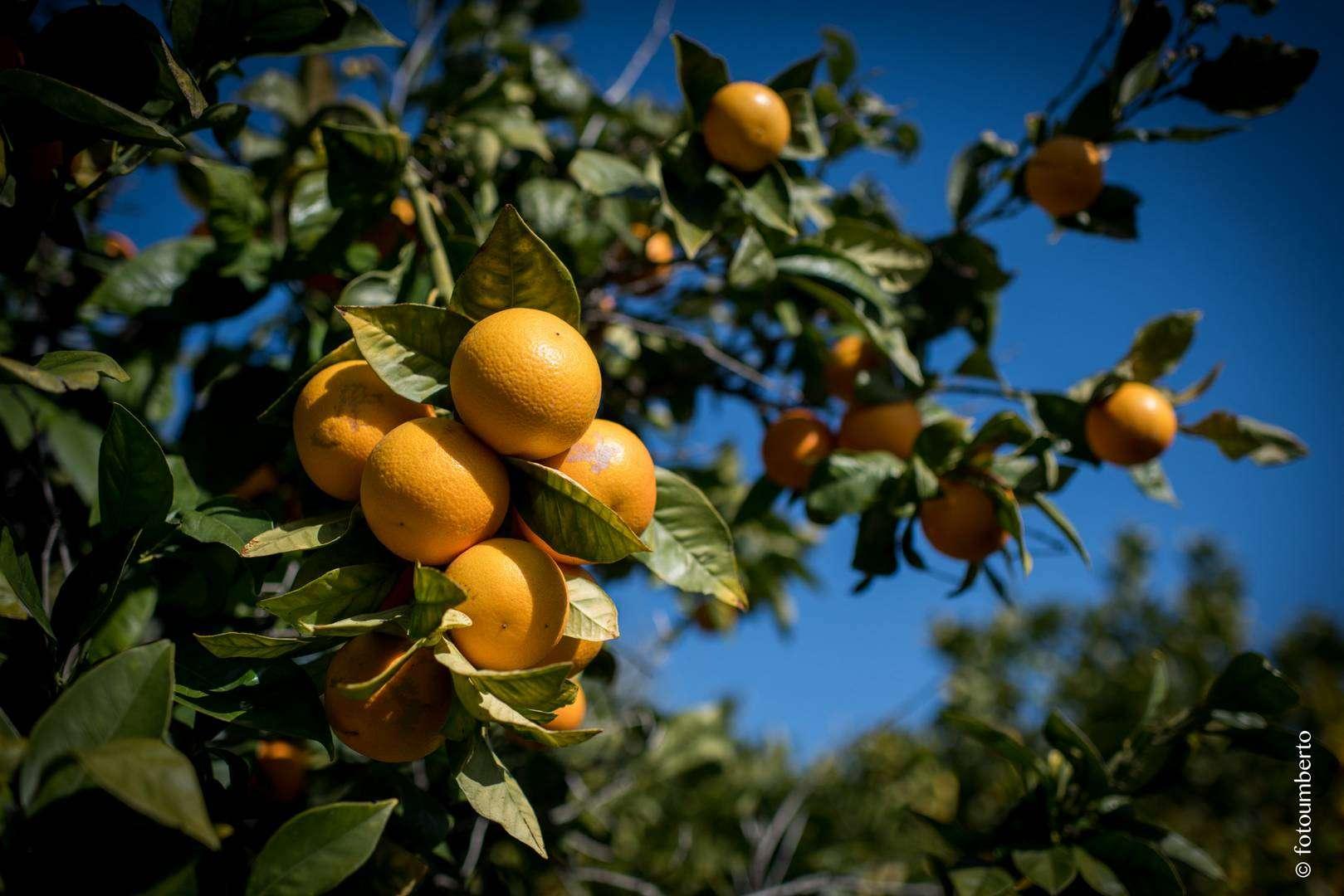foto arance sicilia