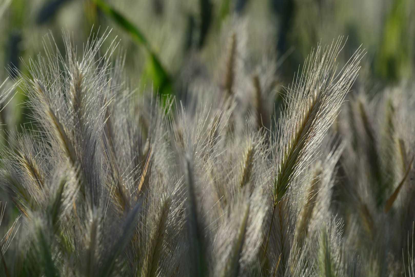 grano sicilia
